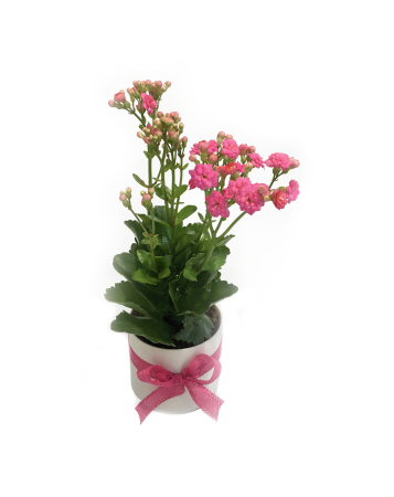 sc 1 st  The Flower Crew & Flowering Pot Plant