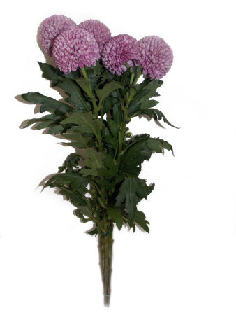 Chrysanthemums At Wholesale Prices Delivered In Sydney