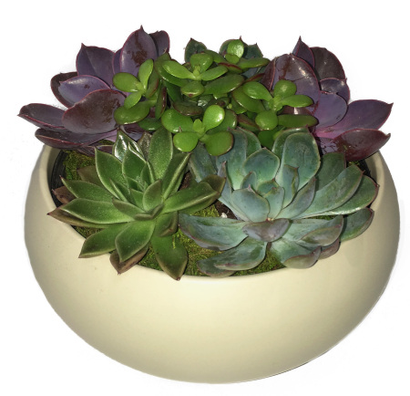 Mini Succulent Garden in White Ceramic Pot
