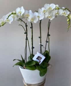 Grand White Orchid Plant